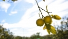 Bergamotto Citroflor